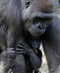 Getting bigger but still hanging on. (rsheath76) Tags: dallaszoo gorillas baby westernlowlandgorilla faces