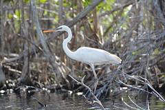 GREAT WHITE HERON (concep1941) Tags: birds heronfamily evergladesnationalpark