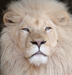 african white lion Ouwehands 094A0044 (j.a.kok) Tags: whitelion witteleeuw leeuw lion africa afrika afrikaanseleeuw africanlion afrikaansewitteleeuw africanwhitelion animal mammal zoogdier dier predator ouwehands ouwehandsdierenpark ouwehand credo pantheraleoleo timbavati