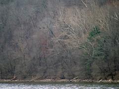 How many eagles? (foxtail_1) Tags: haliaeetusleucocephalus eagle eagles baldeagle panasonicg9 lumixg9 g9 bluestonelake eaglecount