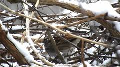 White-throated Sparrow_8454.mp4 (Henryr10) Tags: yard feeder backyard bird zonotrichiaalbicollis zonotrichia albicollis avian whitethroatedsparrow sparrow vogel ibon oiseau pasare fågel uccello tékklistar wtsp