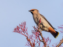 Waxwing (Peter Quinn1) Tags: ecclesallroad sheffield waxwing berries winter bird southyorkshire