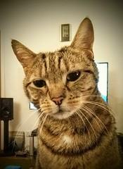 Floyd on his 9th birthday (Bob Blaikie) Tags: catmoments cat tabby