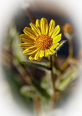Vignetted Desert Sunflower (http://fineartamerica.com/profiles/robert-bales.ht) Tags: arizona foothills forupload haybales people photo places plants projects states sunflowers wildflowers desertsunflower flower landscape yellow plant spring southwest dry national bloom color wildflower west nature juxtaposition wildplant flora americansouthwest desertflora floral blooming moab yellowflower petal arid vibrant bright botany summer canescens orange robertbales sonorandesert geraeacanescens hairy seeds closeup macro vignette annual