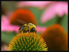 IMG_9337 This Just In - Major Pollen Heist - News at 11 7-15-18 (arkansas traveler) Tags: bee bumblebee insects bichos bugs flowers echinacea zoom telephoto bokeh bokehlicious nature naturewatcher natureartphotography