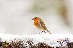 Robin (Chas Moonie-Wild Photography) Tags: robin bird wild snow xmas scotland ngc explore card scene landscape tree woods