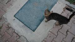 2015-09-18_19-01-05_ILCE-6000_DSC08597 (Miguel Discart (Photos Vrac)) Tags: 2015 24mm animal animalphotography animals animalsupclose animaux cat cats chat chats colakli e1670mmf4zaoss focallength24mm focallengthin35mmformat24mm highiso holiday hotel ilce6000 iso2000 kamelya kamelyaworld nature naturephotography pet sony sonyilce6000 sonyilce6000e1670mmf4zaoss summer turkey turquie vacance vacation