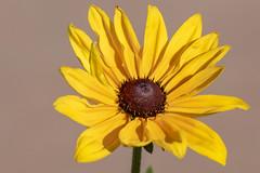 Yellow Flower 1 (Largeguy1) Tags: flower macro canon 5dsr sigma 85mm f14 dg hsm art lens