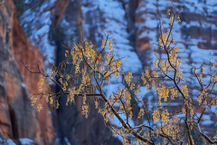 Zion National Park (Springdale, Utah) (@CarShowShooter) Tags: geo:lat=3727375600 geo:lon=11294172400 geotagged springdale unitedstates usa utah zionlodge 18200 18200mm a6500 americannationalpark attraction beautiful canyon clouds destination feet gorgeous hiking ironcounty kanecounty kolobcanyon landscape model mountain naked narrows nationalpark nationalparkinutah nationalparkservice natural nature navajosandstone nps nude riversidewalk rock scenery scenic serene sightseeing skin sky sony sonya6500 sonyalpha6500 sonye18200mmf3563oss sonymirrorless sonyα6500 southwesternutah springdaleutah stone terrain touristattraction touristdesert travel travelblogphoto travelphotography usnationalpark vacation virginriver washingtoncounty wife wilderness winter zion zionnationalpark