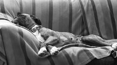 Cerca del cielo... Todo el sofá para ella sola. (Andres Bertens) Tags: 6545 olympusem10markii olympusomdem10markii olympusm45mmf18 olympusmzuikodigital45mmf18 rawtherapee boxer portrait