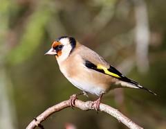 Goldfinch - Taken at Summer Leys Nature Reserve, Great Doddington. Northants. UK (Ian J Hicks) Tags: