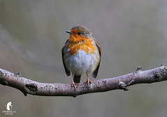 Robin (spennells pensioner) Tags: robin nature cannockchase uk perch trees wild
