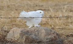 Snowy Owl  5191 (robenglish64) Tags: snowyowl