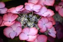 Hydrangea (Seventh Heaven Photography **) Tags: 128th shrewsbury flower show shropshire england nikon d3200 flora blooms flowers hydrangea pink