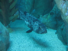 Adult sea bass (rasputina2) Tags: longbeach aquariumofthepacific sea bass fish