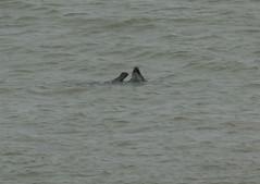 IMG_4978 (monika.carrie) Tags: monikacarrie seals wildlife scotland aberdeen
