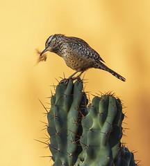 "Busy bird (5'20"") Tags: az wildlife birds nature cactus morning scottsdale"