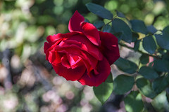 2018 Autumn rose (shinichiro*) Tags: 20181102sdim6738 2018 crazyshin sigmasdquattroh sdqh sigma1770mmf284dcmacrohsm november autumn yokohama 横浜イングリッシュガーデン rose flower macro 31155974077 4342249 201901gettyuploadesp