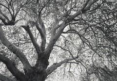tree (La drw) Tags: tree fomopan 200 fomopan200 minolta 28mm analog film bw germany