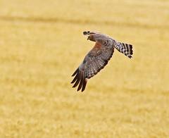 a2U7A3891_sml (ozenigma61) Tags: spottedharrier harrier raptor birdinflight