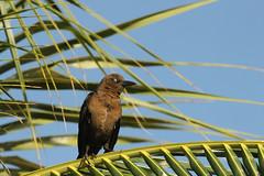 Quiscale à longue queue femelle (Puce d'eau) Tags: quiscale femmelle merle oiseaux birds aves nature sauvage wildlife canon eos 150600 tamron quintanaroo yucatan mexique 7d