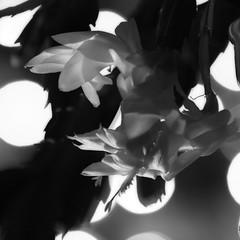 Christmas cactus 29Dec09 (johngpt) Tags: christmaslights flower flash offcameraflash christmascactus flowers ef70200mmf28lisusm canon40d monochromebokehthursday hmbt
