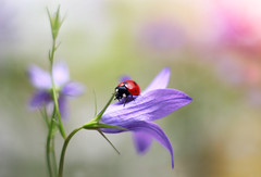 Campanula patula (ElenAndreeva) Tags: flower flowers nature macro garden spring sun summer ladybug bug insect amazing bokeh canon focus close up beauty best campanula flora blue blossom colors colorful cute sweet natural light green moscow soft like likes new