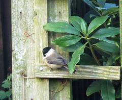 A shy Willow Tit (Deida 1) Tags: bird willowtit garden uk staffordshire wildlife
