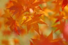 Rusty stars (Baubec Izzet) Tags: baubecizzet pentax bokeh nature leaves autumn flickrunitedaward