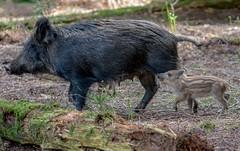 JWL7837  Wild Boar... (jefflack Wildlife&Nature) Tags: wildboar boar boars pigs piglets hoglets hogs animals wildlife woodlands wildlifephotography jefflackphotography forest forests forestofdean forestry