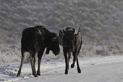 Young bull Moose Sparring On A Cold, Frosty Morning (fethers1) Tags: jacksonholewyoming wyoming wyomingwildlife winter snow moose bullmoose