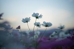 花 (fumi*23) Tags: ilce7rm3 sony sel85f18 flower plant cosmos dusk bokeh dof depthoffield a7r3 ソニー コスモス 花 植物