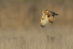 Short Eared Owl, Burwell Fen, Cambridgeshire, UK (1DT) (Nick Bowman1) Tags: shortearedowl cambridgeshire sonyilca99m2 sony500mmf4gssm sony14xtc uk burwellfen