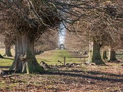 Wintery Avenue (bart7jw) Tags: charlecotepark nt winter trees avenue deer park charlecote warwickshire