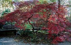 Ripe Red Maple (4 Pete Seek) Tags: gibbsgardens gardens botanicalgardens nature naturephotography autumn autumncolors autumnleaves fall fallcolors