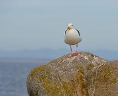 DSC_0341 (afagen) Tags: california pacificgrove montereypeninsula pacificocean ocean bird