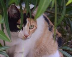 Tranquilo (rosaadda) Tags: felinos macrofotografía macro nikon 5300 cats gatos