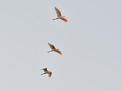 Great Egret (Ardea alba) Ägretthäger (peterhörenius) Tags: greategret ardeaalba ägretthäger fåglar hägrar storkfåglar herons