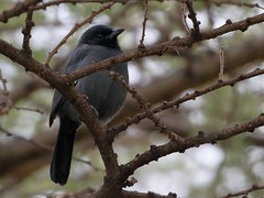 Slate-coloured Boubou (steinerattila) Tags: ethiopia birds shrike