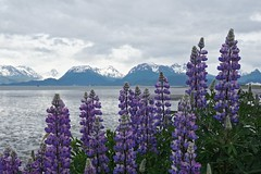 Lupine along the Homer Spit Road (AGrinberg) Tags: 16067581alaska alaska homer lupine mountains bay cloudy kachemak