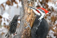 Tolérance Boréale - Sharing food during the cold (Gilbert Rolland) Tags: winterfeeder winter gilbertrolland europeanstarling étourneausansonnet pileatedwoodpecker grandpic