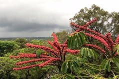 dark skies over Brisbane (Grenzeloos1) Tags: scheffleraactinophylla umbrellatree rainbowlorikeets brisbane darkskies rain summer 2018