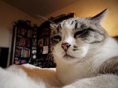 Sissi (Le Photovaure) Tags: sonydschx90 chat animal felins animaux portrait