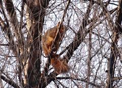 Solstice squirrel (EcoSnake) Tags: squirrels easternfoxsquirrel winter solstice sunlight tree rodents idahofishandgame naturecenter december