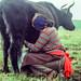 Milking Yak