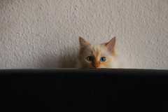 You looking for me ? (FocusPocus Photography) Tags: tofu dragon chat gato katze kater cat tier animal haustier pet kastenteufel jackinthebox