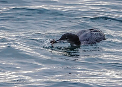 Great Northern Diver (JKmedia) Tags: devon teignmouth 2019 aquatic bird greatnortherndiver catch sea water crab