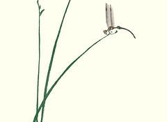 Bulrush (Japanese Flower and Bird Art) Tags: flower bulrush scirpus cyperaceae ukiyo woodblock picture book japan japanese art readercollection