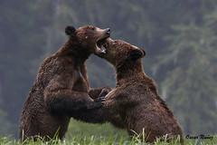 Khutzeymateen Brawlers DSC_8701Jan 26 2019 1 (Stormpeak_1) Tags: khutzeymateen britishcolumbia canada greatbearrainforest grizzlybear bear wilderness wildlife nature nikon nikond500 nikon80400mm