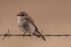 Jacky winter (crispiks) Tags: jackywinter birdlife animals chiltern north east victoria bartleys block mount pilot national park nikon d500 200500 f56